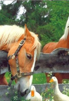 """A Morning chat over the fence ~ warm interaction between Horse and Ducks..."""""""