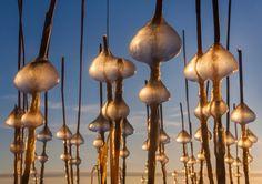 JäätaidettaLow sunlight makes ice beads shine like orthodox church's golden domes in Helsinki harbor.Matala auringonvalo saa Helsingin Uutelan jäästä syntyneet helmet hohtamaan kuin ortodoksisen kirkon kullatut kupolit. Luonnon taideteokset ovat kuvaaja Vesa Huttusen mukaan syntyneet ilmeisesti  siten, että pakkanen on jäädyttänyt korkean veden aikana pinnan ja hile  on jäätynyt kiinni järviruokojen korsiin. Aallot ovat sitten hioneet  hilemöykyt palloiksi, jotka ovat jääneet noin 30 sentin…