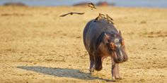 Baby Hippo is Scared of Birds