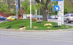 Update: Het Roemeense parlement heeft afgelopen dinsdag (10 september 2013) ingestemd met een wet die het massaal doden van zwerfhonden mogelijk maakt. Een wreed déjà vu, dit was namelijk ook het geval in 2011, zie Situatie 2011.   Toen is PiepVandaag.nl een petitie en e-mailactie gestart. De wet is er uiteindelijk niet gekomen omdat de Roemeense constitutionele rechtbank het verbood in januari 2012. Nu echter ligt deze zelfde wet weer op tafel,