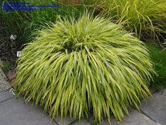 Gold-Striped Hakone Grass, Golden Japanese Forest Grass 'Aureola'  Hakonechloa macra