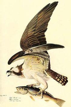 Osprey. John James Audubon (April 26, 1785 – January 27, 1851), born Jean-Jacques Audubon, was an American ornithologist, naturalist, and painter. He was notable for his expansive studies to document