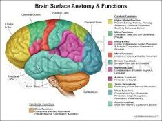 Diagram of the human brain with its respective parts yw helps more information more information brain function ccuart Gallery