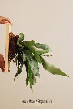 How to mount one... Staghorn fern   Platycerium spec.