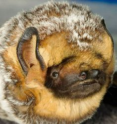 HOARY BAT - NORTH AMERICAN BAT. WHAT A SWEET, SWEET FACE.