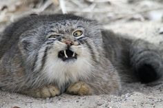Pallas's Cat Sneezing