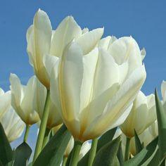 Die Tulpe 'Purissima' ist ein echter Klassiker im Garten und zeitlos schön. Pflanzzeit ist im Herbst - online erhältlich bei www.fluwel.de