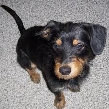 wire haired ? (This one looks a lot like my Abby, minus her curly feathered tail. - ST)