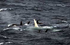 white killer whale discovered - one of only few ever seen