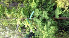 Metasequoia  $200