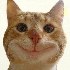 I get my NEW teeth tomorrow . Funny Cat Compilation, Funny Cat Videos, Funny Cat Pictures, Funny Animal Memes, Cat Memes, Funny Animals, Cute Animals, I Love Cats, Cool Cats
