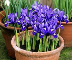 Iris growing in pot
