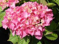 HydrangeamacrophyllaMySistersGarden