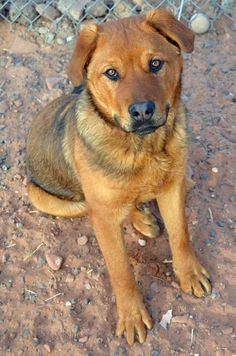 Lab Retr Mix • Adult • Male • Lg. Page Animal Adoption Agency, AZ. <3 RED, we all love red! This guy is loving life again. An active young lad looking for an active family. Red enjoys playing w/ his 2 best pals & will do anything for a treat! Great w/ other DOGS & loves new volunteers. Only 7 mos & has to learn, but is ready. He also a teddy bear side that he shows us from time to time. Come meet Red or call w/ any questions! 928-640-1500