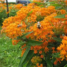Butterfly Weed Seeds (Asclepias tuberosa) - Packet milkweed eastern us