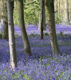 Spring brings beautiful bluebells in the woods.