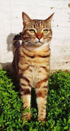 Maya on www.yummypets.com Cat, kitten, kitty, meow, purr, pets, animals, pussycat, tabby cat, Yummypets