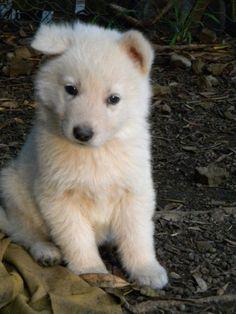 Berger blanc Suisse - puppy