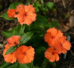 Lychnis coronata Orange Sherbet ---- A darling plant grown in UK but not much here. Small flowers begin in May and continue much of the summer. Likes a humusy, well -drained soil in light to 3/4 shade; good in a woodland garden. Forms a 1' by 1' mound. z. 5-9