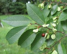 Drake Elm Crann Growing: Tips On Caring For Drake Elm Crann - The draje crann also called Chinese elm or lacebark elm) is a quick-growing elm crann that naturally develops a dense, rounded, umbrella shaped canopy.