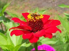 Gathering pollen on a zinnia flower