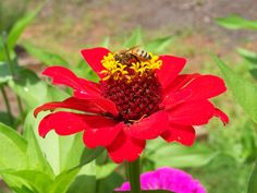 Gathering pollen on a zinnia flower