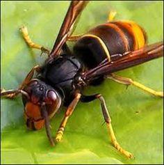 De hoornaar en de frelon asiatique Zijn vliesvleugelige insecten en behoren tot de echte wespen of papierwespen. De hoornaar kan tot 3,5 centimeter lang worden en is hiermee de grootste wespachtige van Europa. Daarnaast komt de wesp voor in delen van Azië. Behalve door indrukwekkende afmetingen valt de hoornaar op door zijn roodbruine kop en borststuk en het duidelijk hoorbare, zoemende vlieggeluid en is minder agressief dan de kleinere.