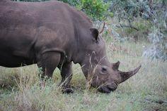 Rhinos at Maasai Mara, Kenya