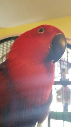 11yr old Vos Eclectus named Trinity.