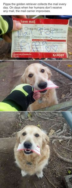 cute golden retriever and mailman