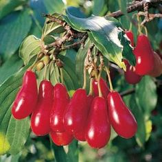 Cornelian Cherries (Cornus mas) are an uncommon fruit that are being added to our #permaculture planting this spring.