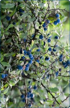 Blackthorn (Prunus spinosa) makes great natural hedges if properly spaced and laid, and as a bonus, produces sloe fruits, a component of sloe gin.