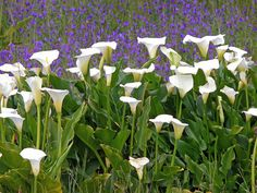 South Africa wildflowers-lilies