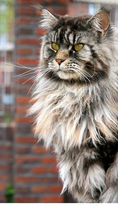 I will most likely adopt a cat, but if I had a choice on a breed I would get a Maine Coon. They are so big and quite majestic.