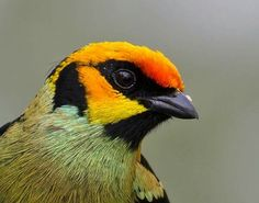 Flamed faced Tanager