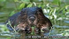 The Eurasian beaver or European beaver (Castor fiber) is a species of beaver which was once widespread in Eurasia. It was hunted to near-extinction for both its fur and castoreum, and by 1900 only 1,200 beavers survived in eight relict populations in Europe and Asia.