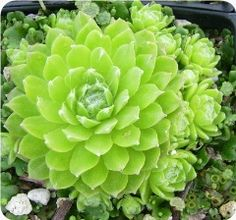 Sempervivum 'Lemon Babies'