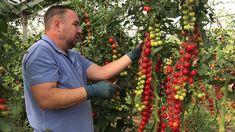 Как вырастить томаты черри? Секреты возделывания. - YouTube
