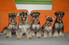 No one's laughing at your jokes. | These Mini Schnauzers Will Solve All Of Your Problems
