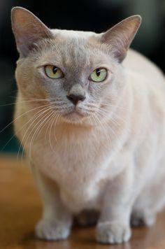 ~ Burmese Cat ~ just like Madame Mao