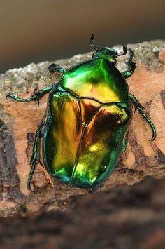 Bilderesultat for scarab beetle Beetle Insect, Beetle Bug, Cool Insects, Bugs And Insects, Beetle Tattoo, Mantis Religiosa, Green Beetle, Cool Bugs, Japanese Beetles