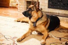 Omistatko+kovahermoisen+koiran?+Kansallisooppera+etsii+saksanpaimenkoiraa+näytöksiin