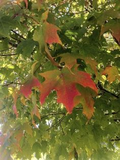 Info About Maple Trees: Tips For Planting Maple Tree Seedlings