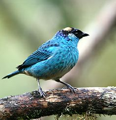 Golden-naped Tanager. Jewels of Ecuador: Hummers, Tanagers & Antpittas - fieldguides
