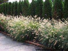 block planting grasses in front of evergreens