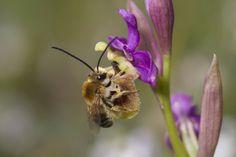 Eucera Ophrys ficalhoana | por Carlos E. Hermosilla