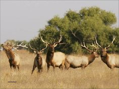 Tule Elk San Luis NWR_Lee Eastman USFWS by USFWS Headquarters, via Flickr