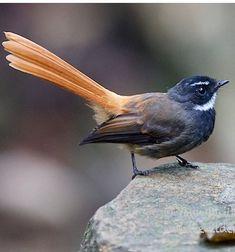 Abanico colirrojo - Rufous-tailed Fantail - Rotbürzel-Fächerschwanz - Rhipidure rougequeue