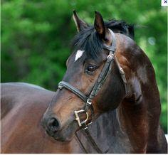 Prelude by Mozart - Trakehner stallion Warmblood Horses, Dressage Horses, Thoroughbred Horse, Friesian Horse, Breyer Horses, Bay Horse, Horse Head, American Quarter Horse, Quarter Horses