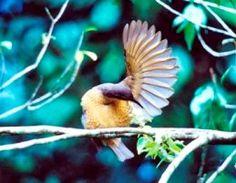 Victoria's riflebird | Atherton Tablelands | Queensland | Australia #FNQ #NationalPark #rainforest
